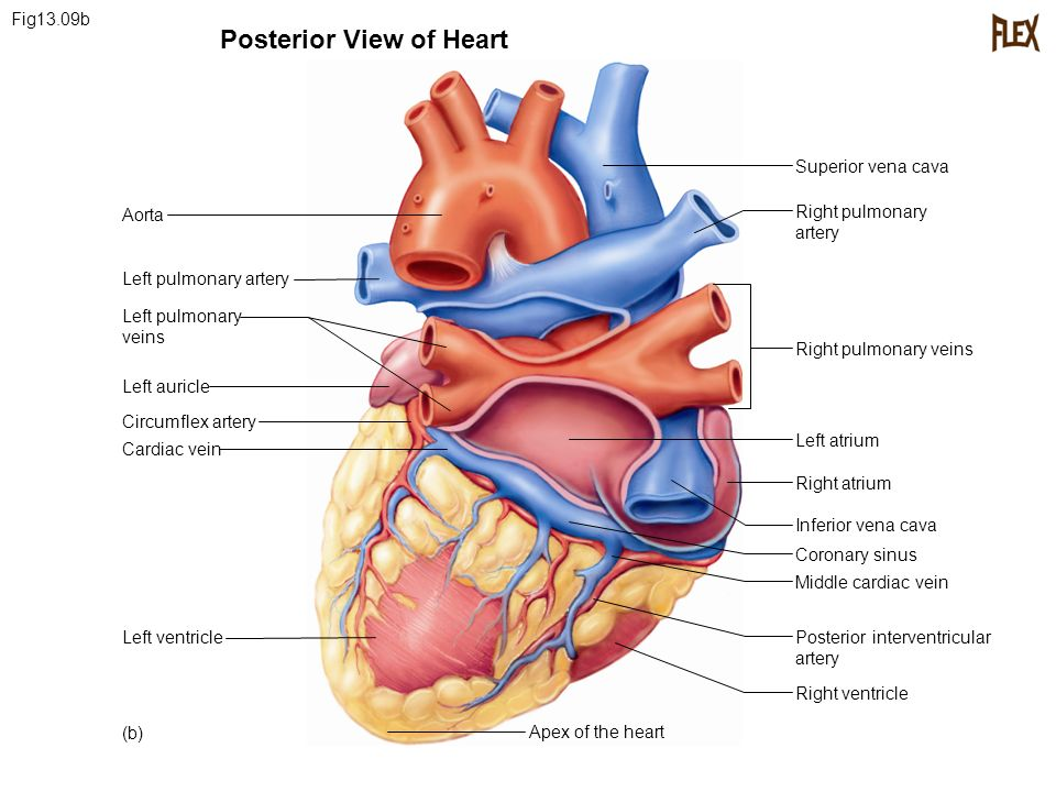 Super vena cava posterior diagram product wiring diagrams the cardiovascular system ppt video online download rh slideplayer com vena cava function vena cava function ccuart Images