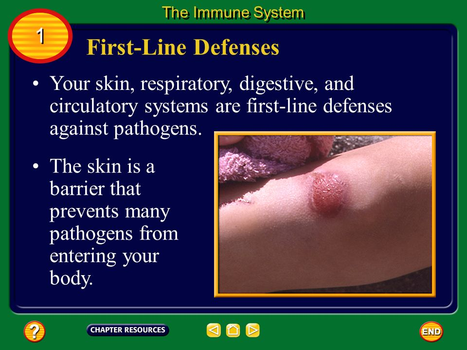 The Immune System 1. First-Line Defenses. Your skin, respiratory, digestive, and circulatory systems are first-line defenses against pathogens.