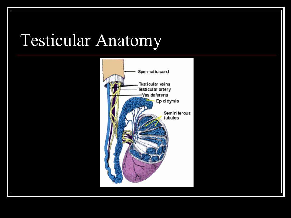Testicular Ultrasound - ppt video online download