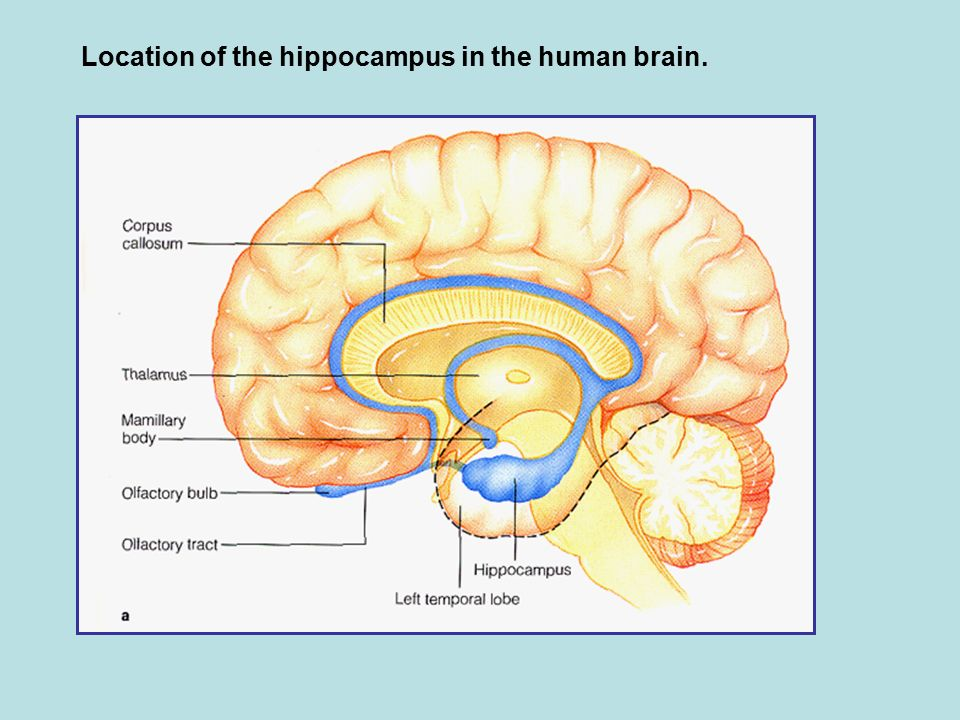 The neurology and dysfunctions associated with learning and memory 11 location of the hippocampus in the human brain ccuart Gallery