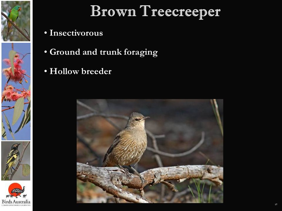 Brown Treecreeper Insectivorous Ground and trunk foraging