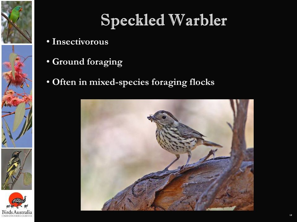 Speckled Warbler Insectivorous Ground foraging