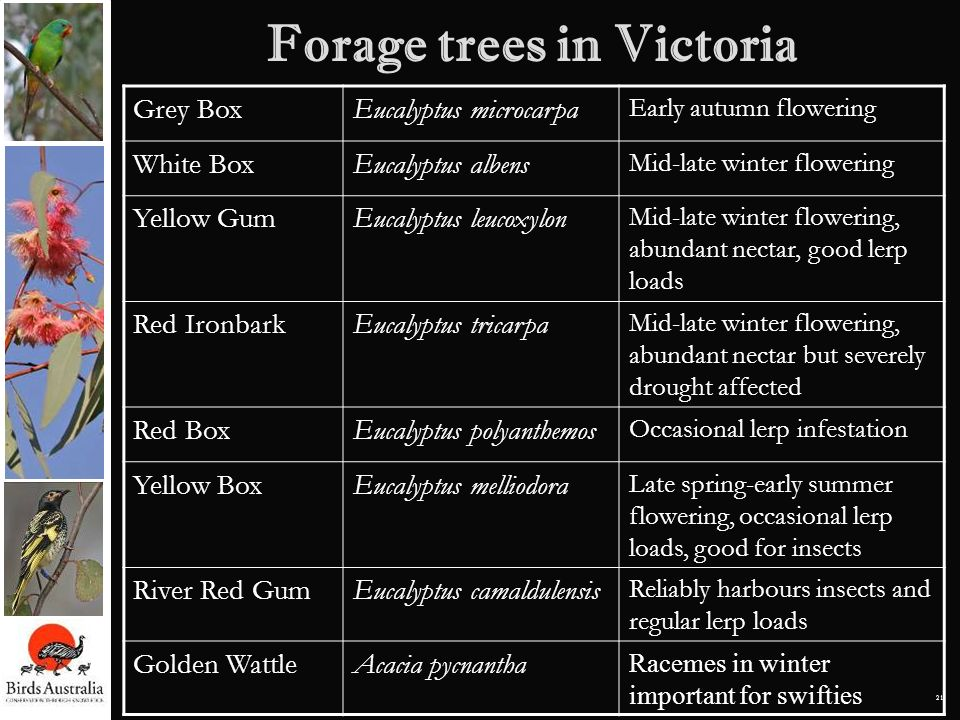 Forage trees in Victoria