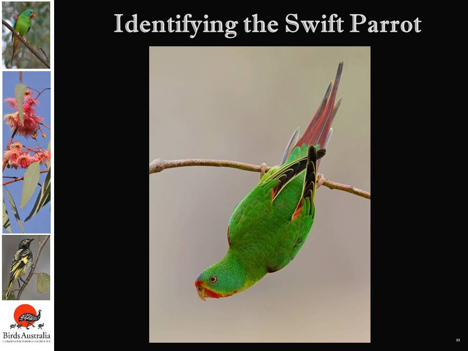 Identifying the Swift Parrot