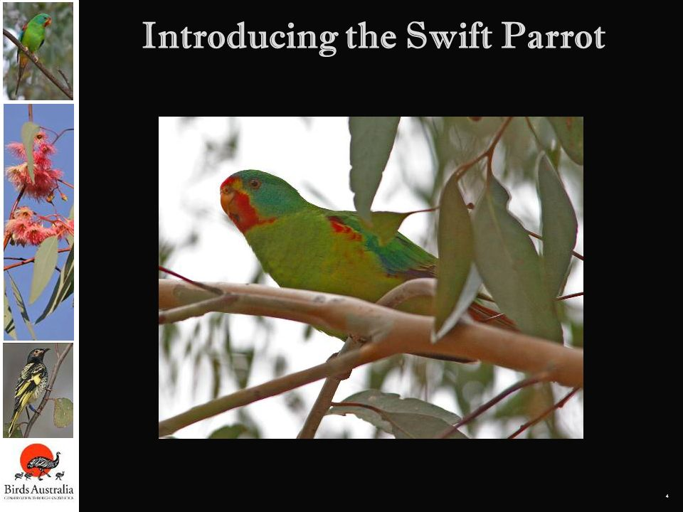 Introducing the Swift Parrot