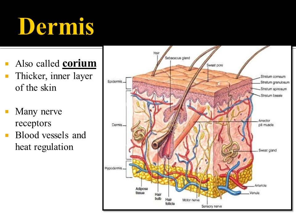Integumentary System Ppt Download