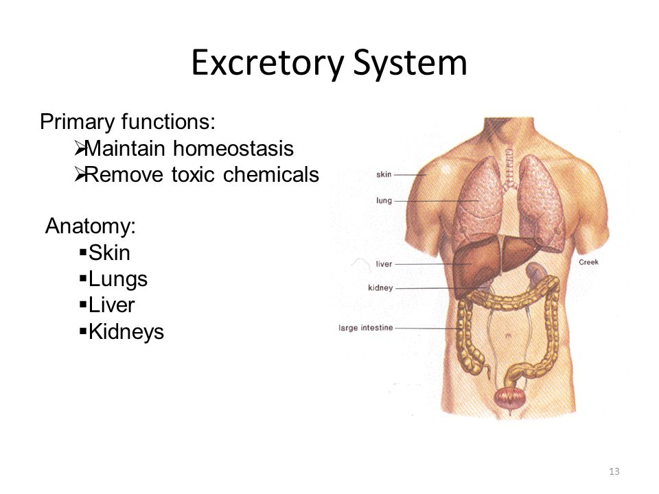 Excretory System Primary functions: Maintain homeostasis