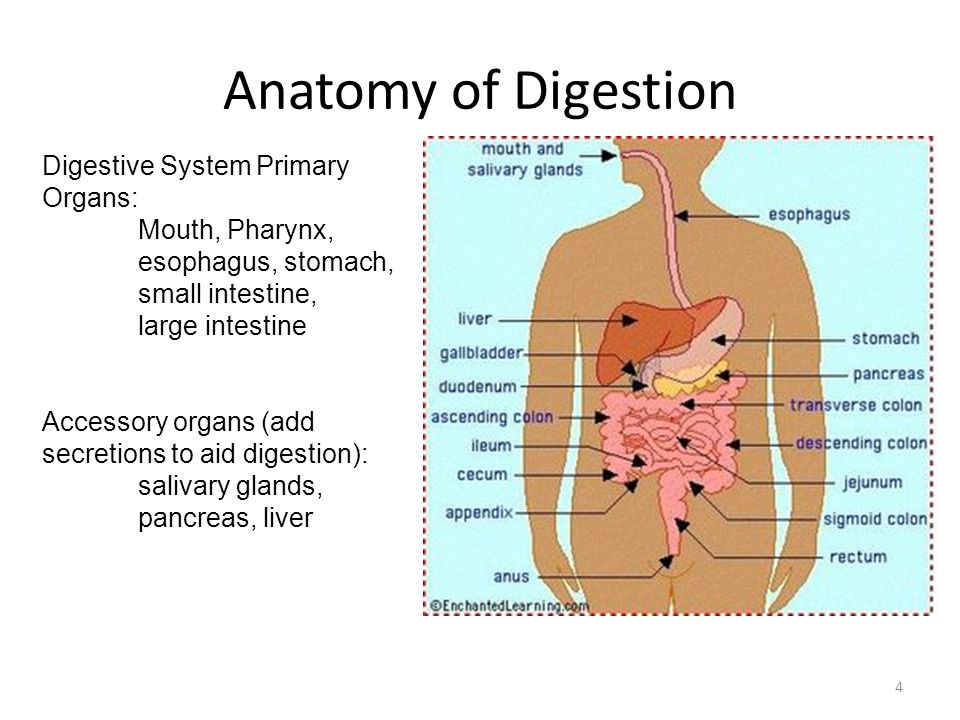 Anatomy of Digestion Digestive System Primary Organs: Mouth, Pharynx,