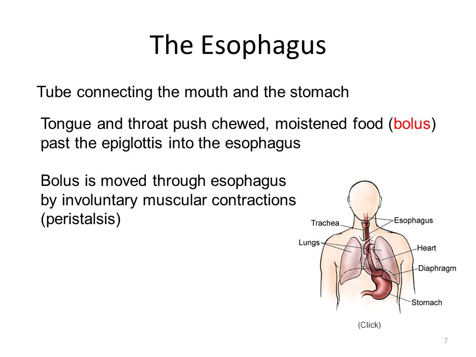 The Esophagus Tube connecting the mouth and the stomach