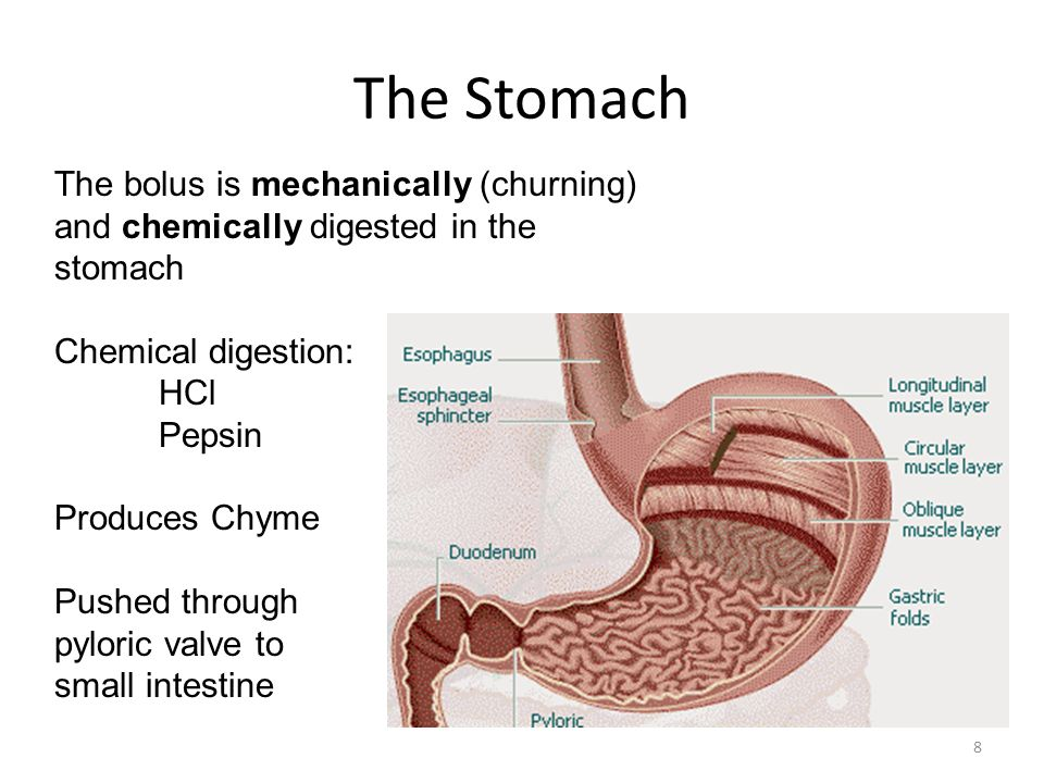 The Stomach The bolus is mechanically (churning)