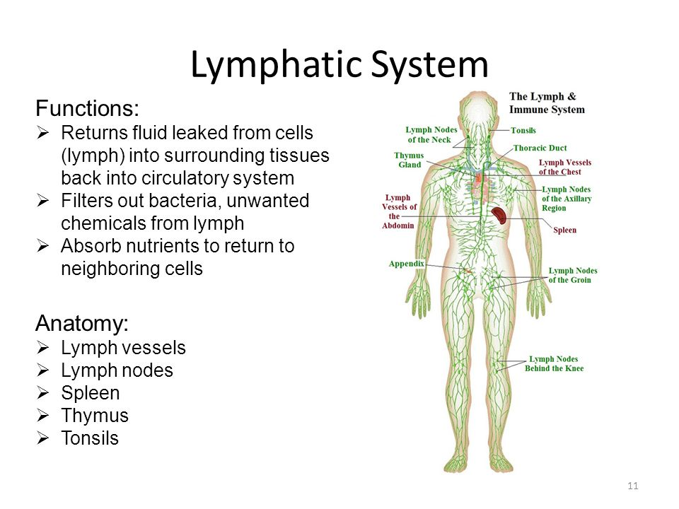 what are two functions of the lymphatic system
