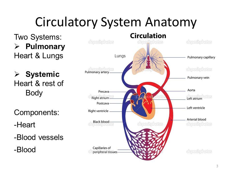 Human Anatomy & Physiology CIRCULATORY & RESPIRATORY SYSTEMS - ppt ...