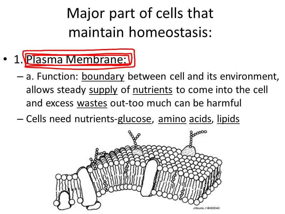 Major part of cells that maintain homeostasis: