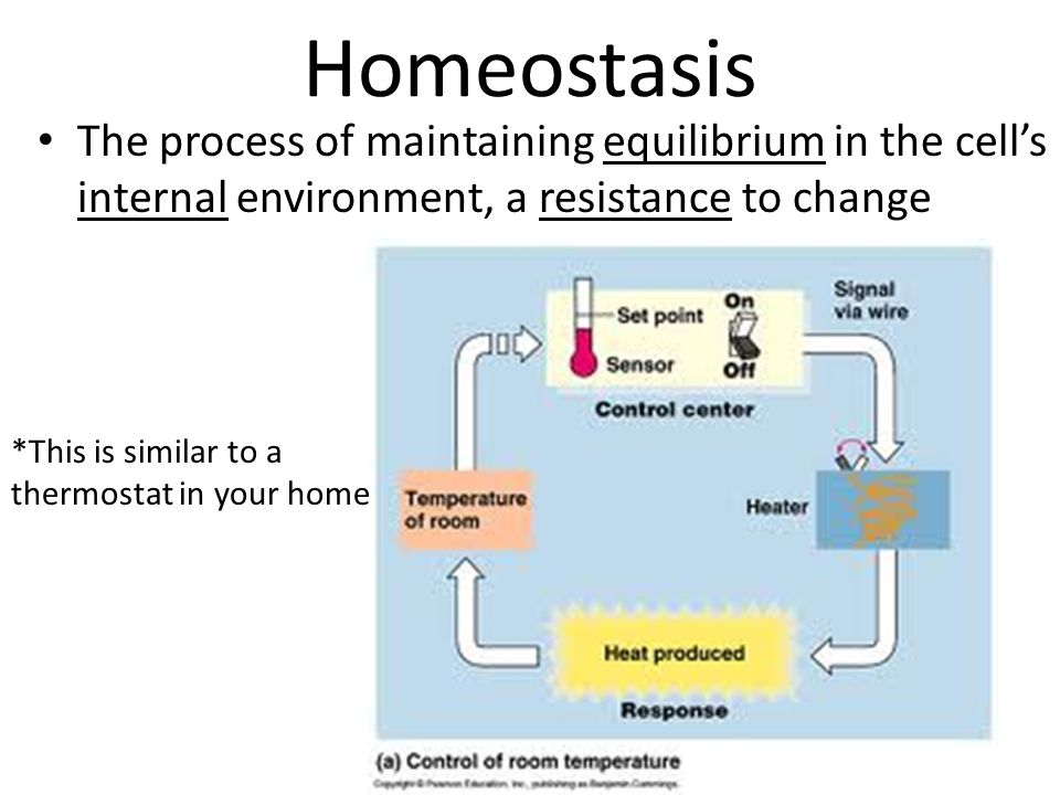 Homeostasis The process of maintaining equilibrium in the cell's internal environment, a resistance to change.
