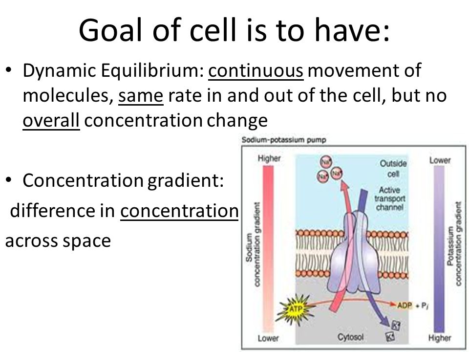 Goal of cell is to have: Dynamic Equilibrium: continuous movement of molecules, same rate in and out of the cell, but no overall concentration change.