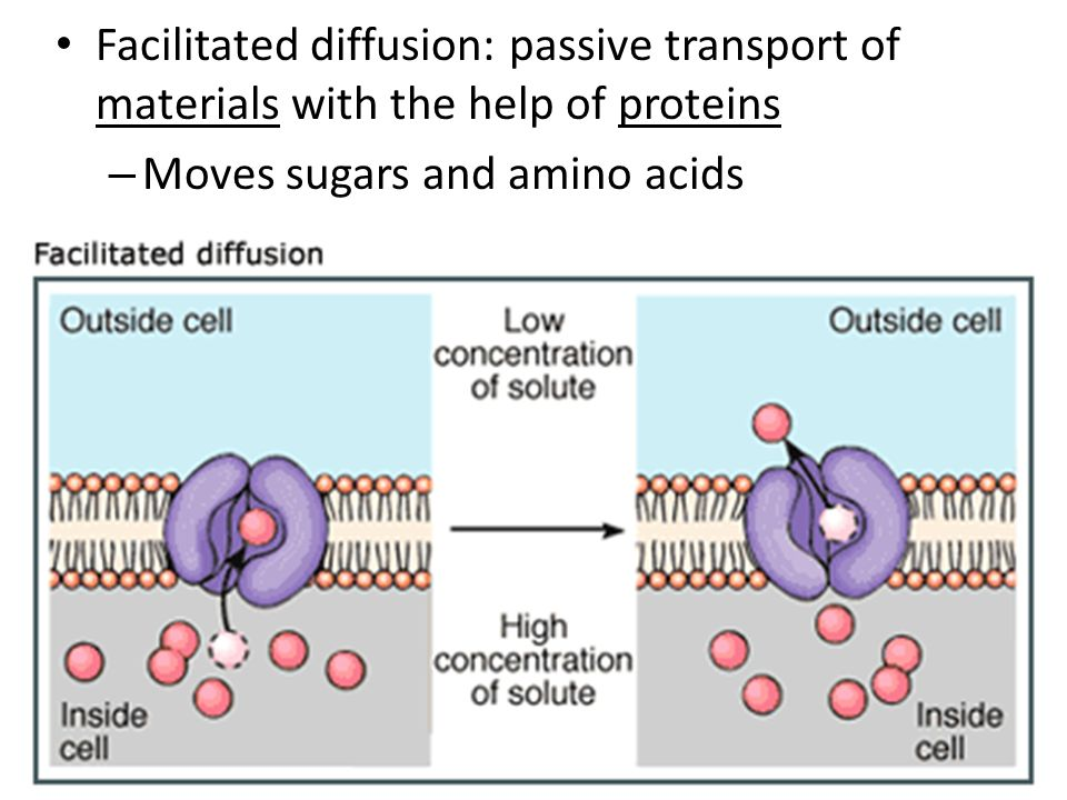 Moves sugars and amino acids