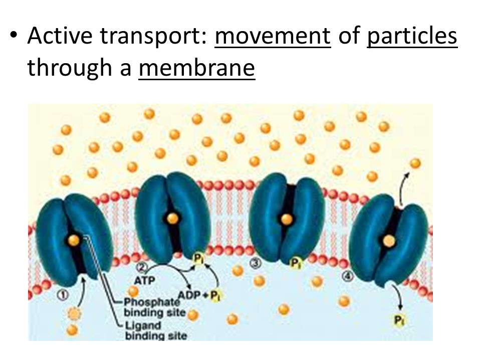 Active transport: movement of particles through a membrane