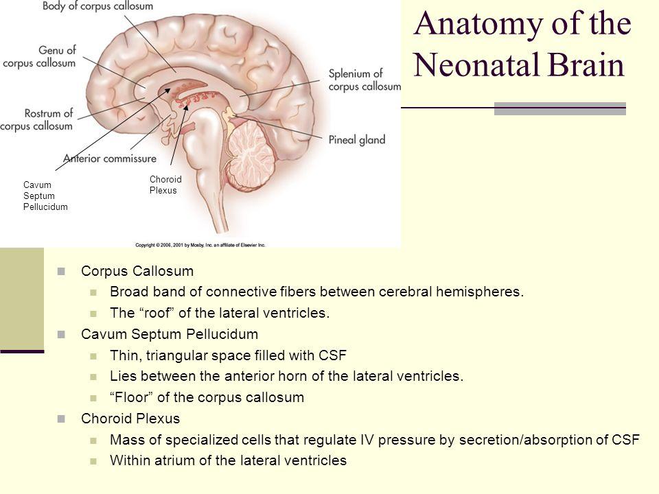 Neonatal Brain Anatomy Diagram - Product Wiring Diagrams •