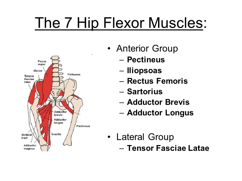 Outstanding Hip Flexor Muscles Anatomy Component - Anatomy And ...