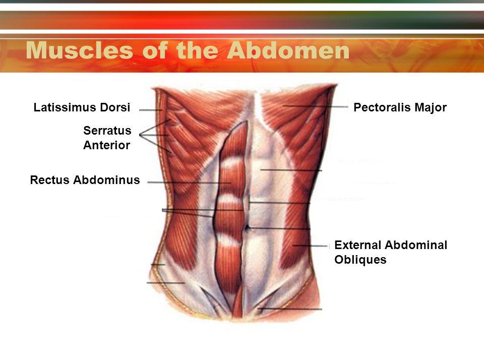 11 Part Ii Anatomy Of The Spine Abdomen And Shoulder Complex