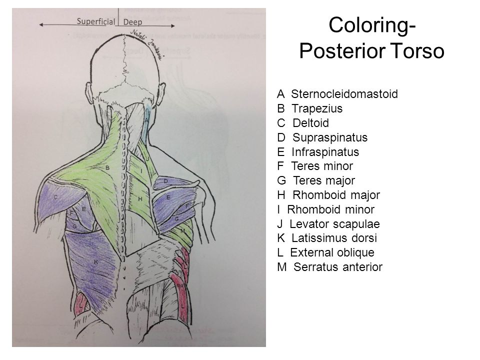 "MUSCLES OF THE TORSO Upload ""8.21 Muscles of the Torso Worksheet ..."