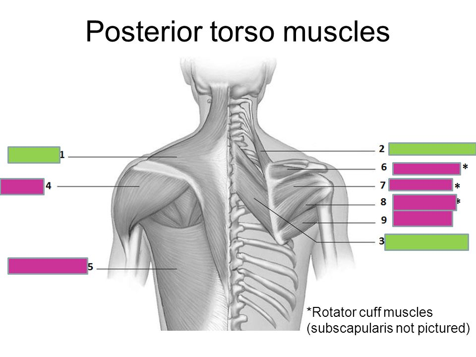 Posterior Torso Muscles: Muscle Worksheets At Alzheimers-prions.com