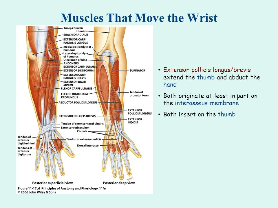 Muscles That Move the Wrist