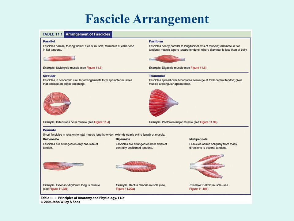 Fascicle Arrangement