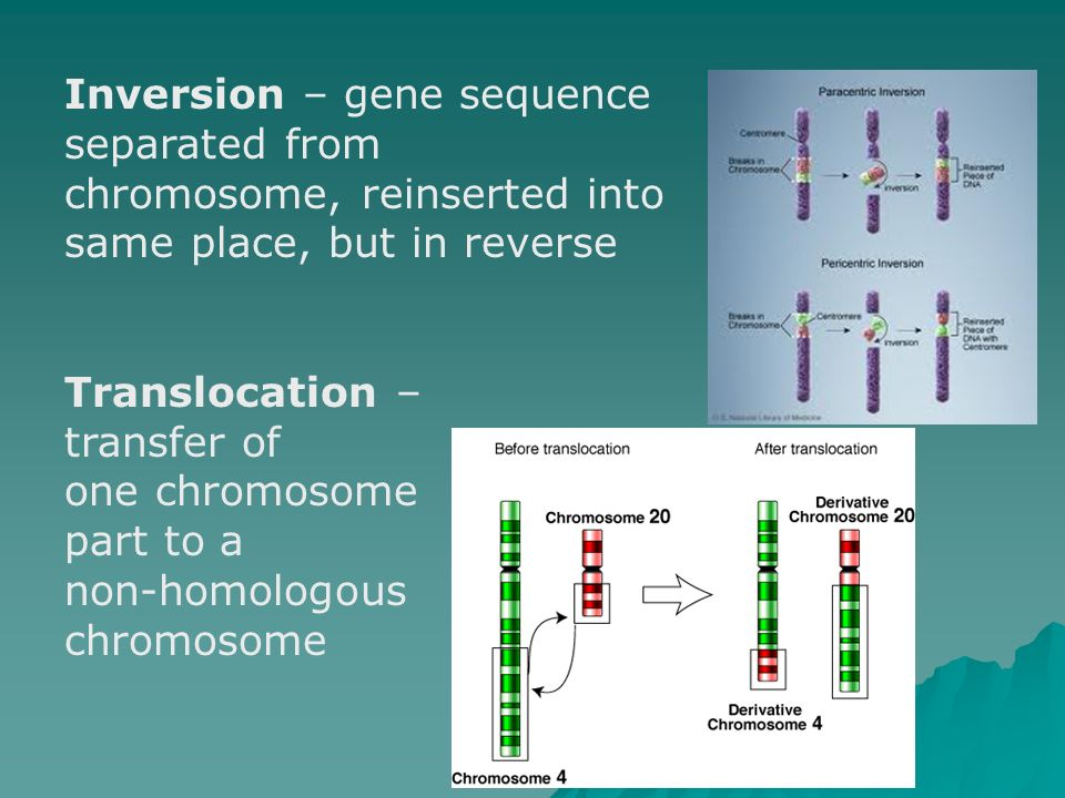 Inversion – gene sequence separated from chromosome, reinserted into same place, but in reverse
