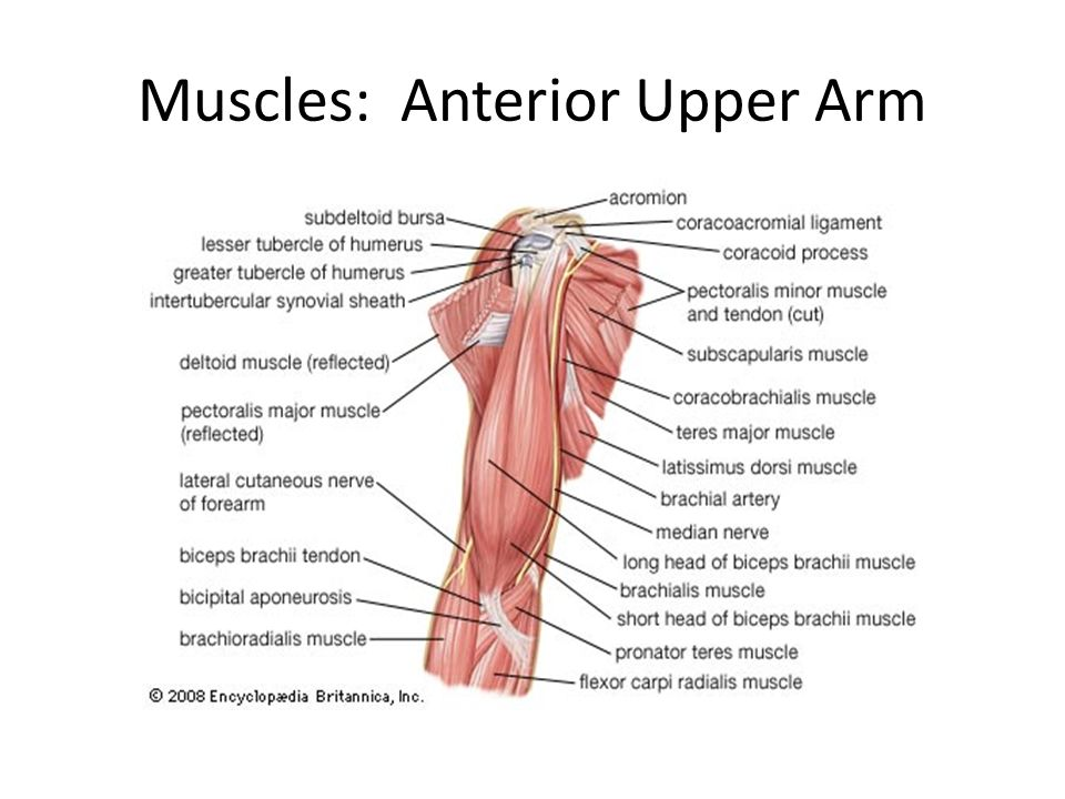 Chapter 10 Muscles Gross Anatomy Ppt Download