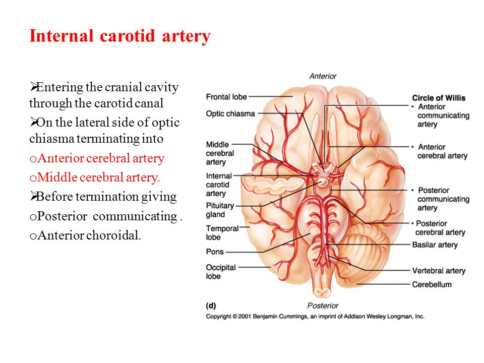 Famous Internal Carotid Ornament - Human Anatomy Images ...