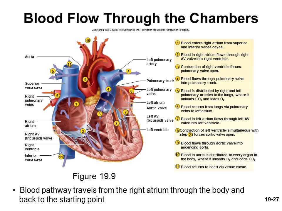 Blood Supply Of Heart Anatomy Ppt Image collections - human body anatomy