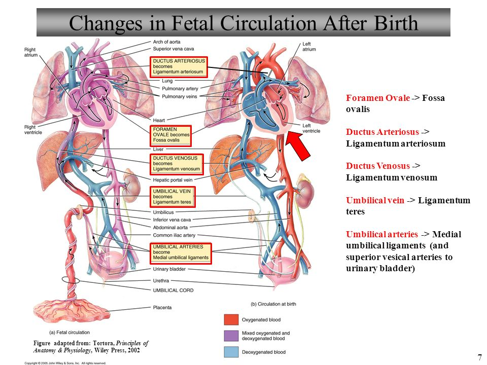Human Development And Aging Chapter 29 The Fetal Circulation Ppt