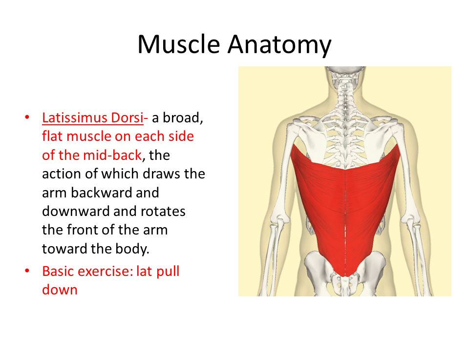Muscle Anatomy Ppt Video Online Download