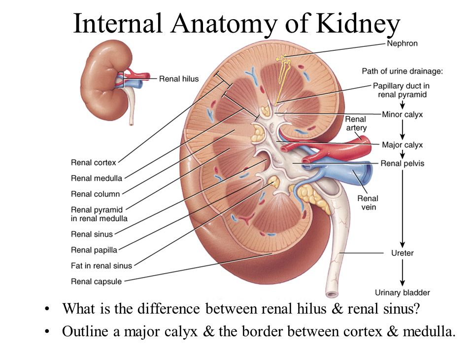 Chapter 26 The Urinary System - ppt video online download