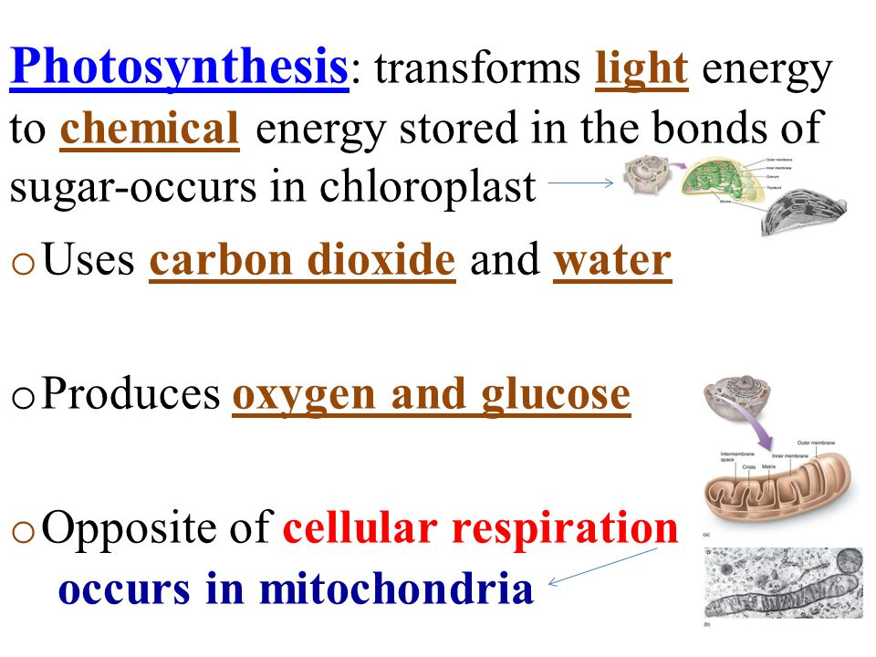 Photosynthesis: transforms light energy to chemical energy stored in the bonds of sugar-occurs in chloroplast.