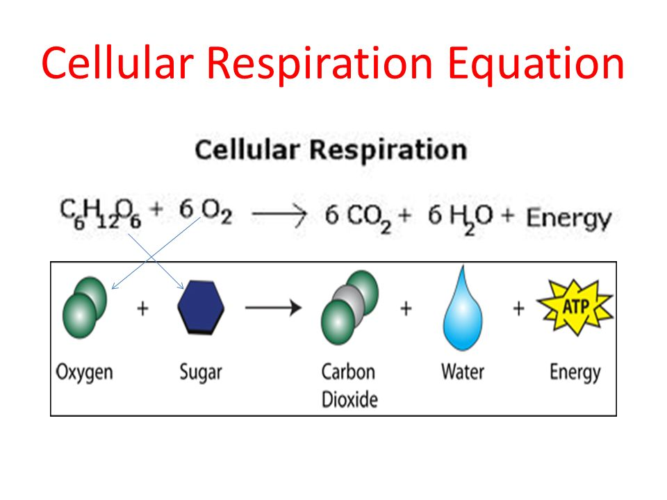 Cell transport photosynthesis cellular respiration cell cycle ppt 15 cellular respiration equation ccuart Image collections