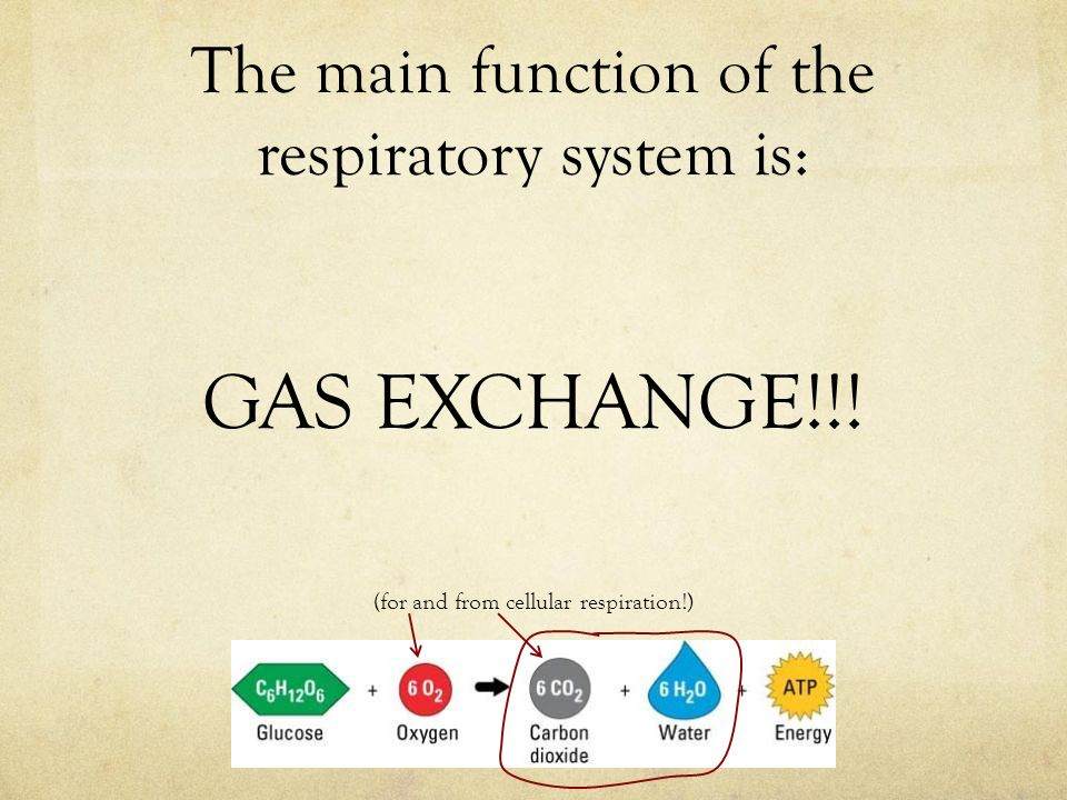 The main function of the respiratory system is: