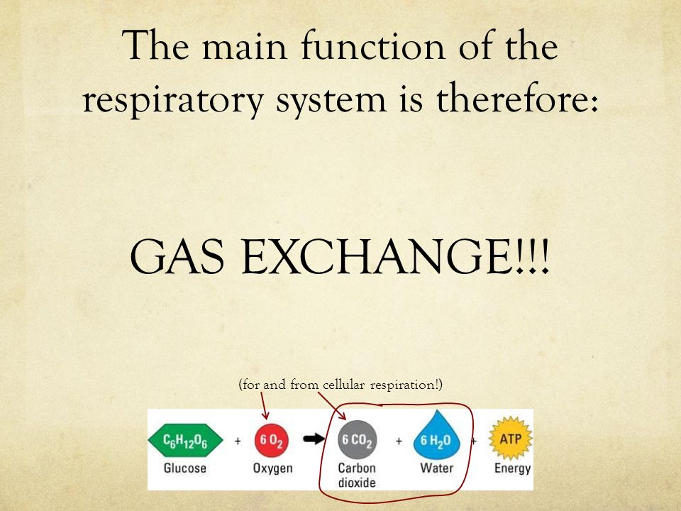 The main function of the respiratory system is therefore: