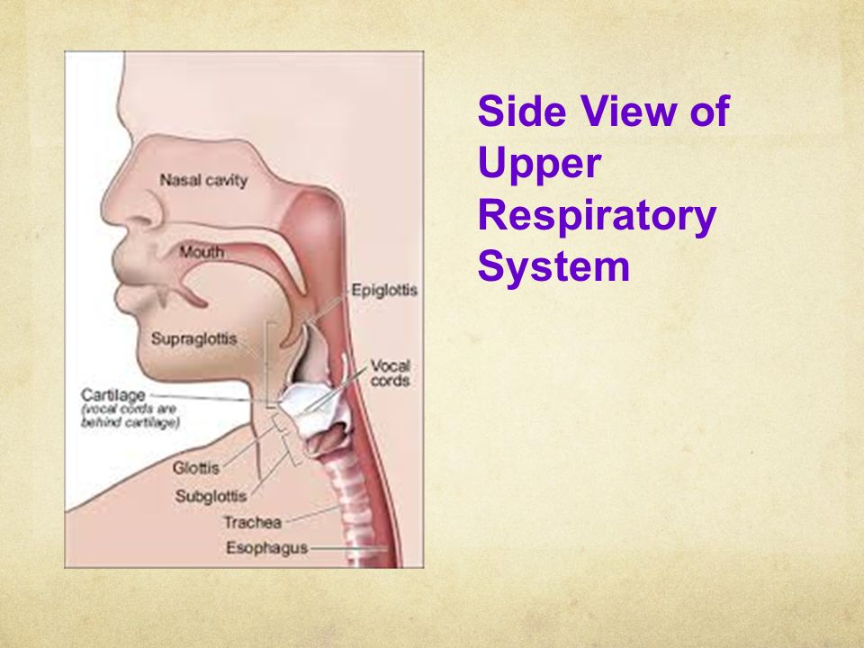 Side View of Upper Respiratory