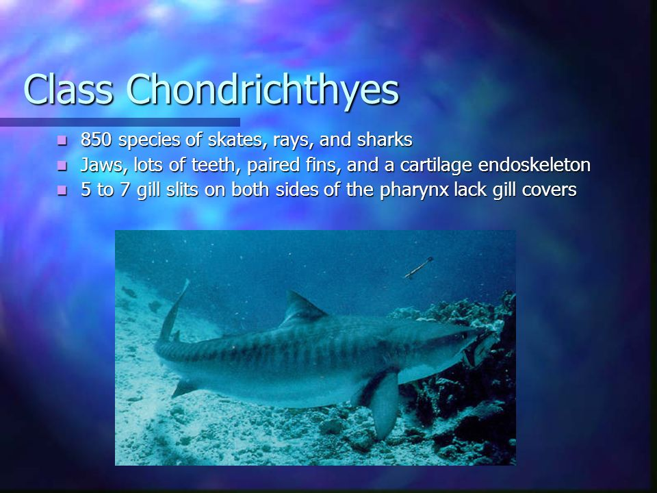 Class Chondrichthyes 850 species of skates, rays, and sharks