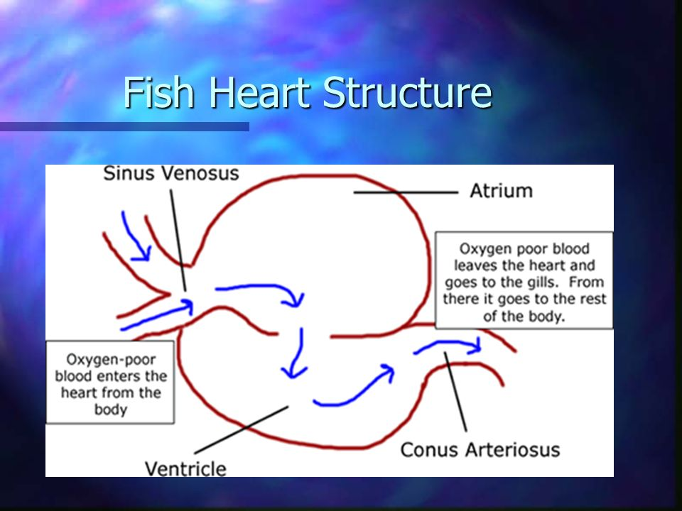 Fish Heart Structure