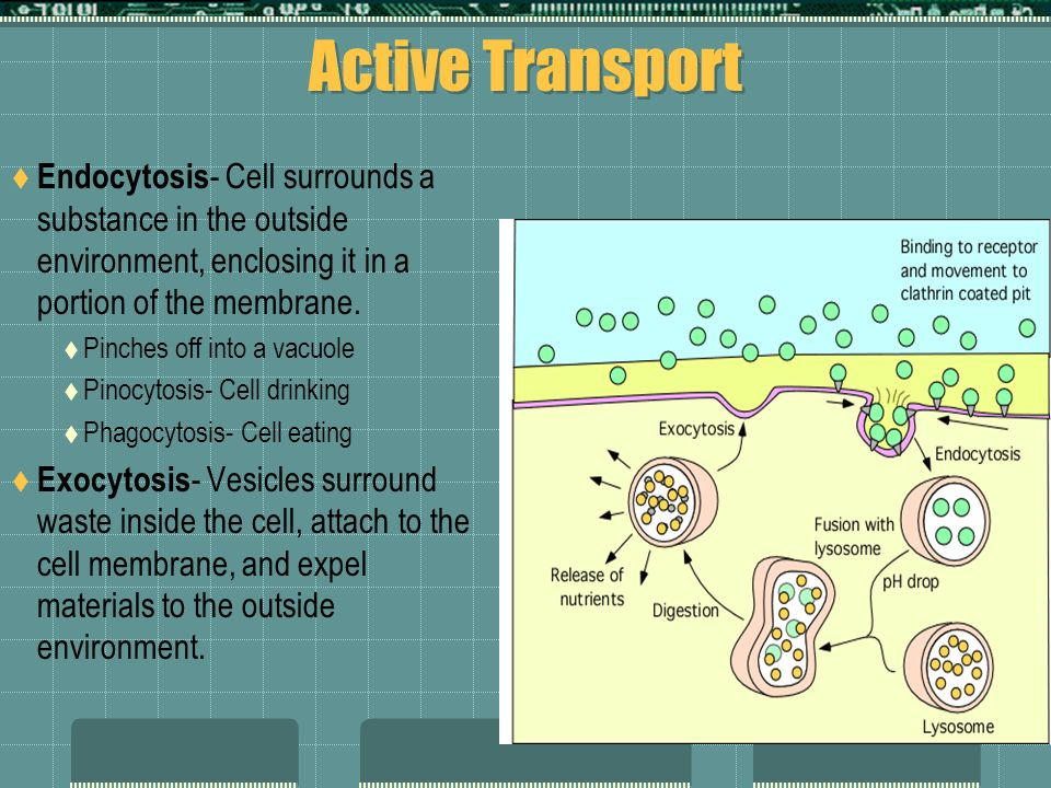 Active Transport Endocytosis- Cell surrounds a substance in the outside environment, enclosing it in a portion of the membrane.