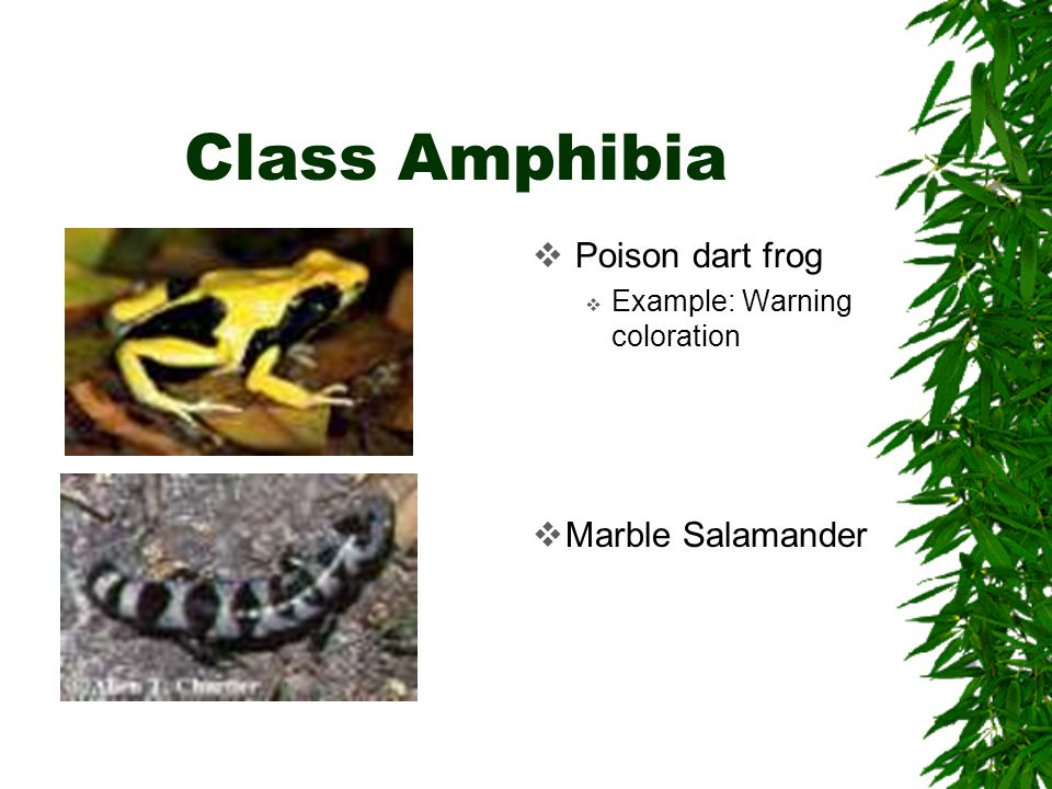 Class Amphibia Poison dart frog Marble Salamander