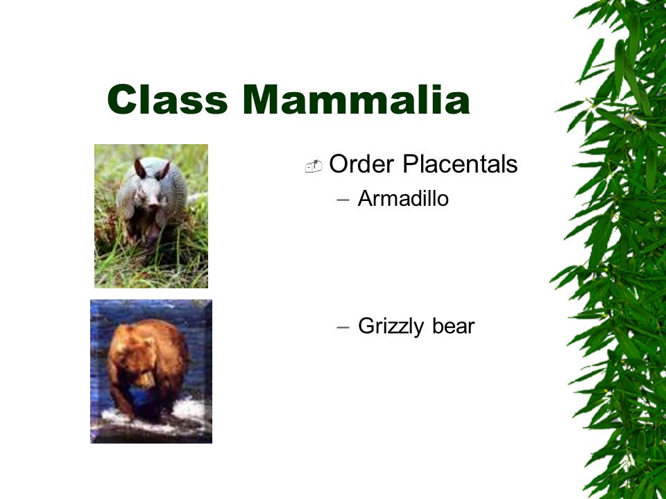 Class Mammalia Order Placentals Armadillo Grizzly bear