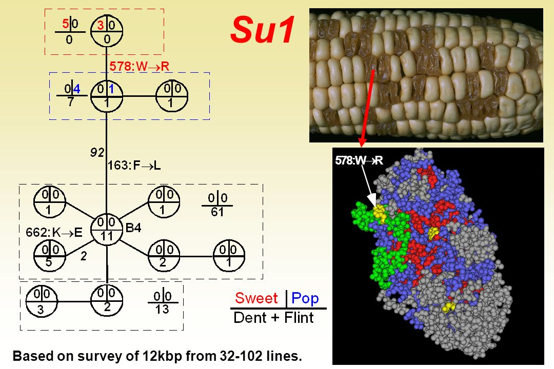 Su1 5 7 8 : W ® R Based on survey of 12kbp from 32-102 lines.