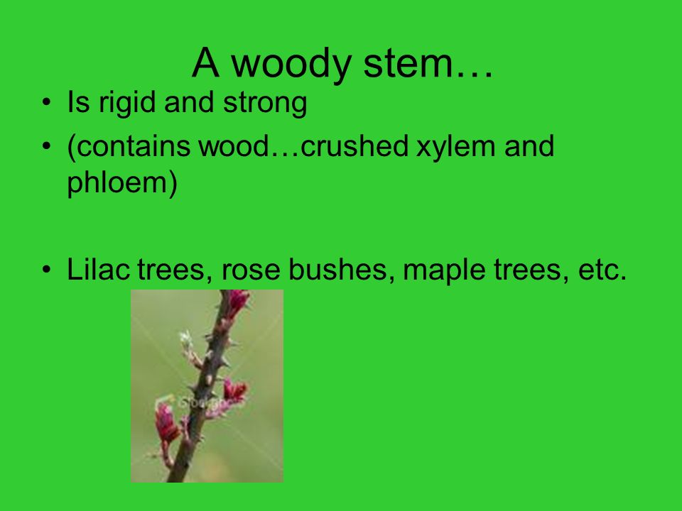 A woody stem… Is rigid and strong