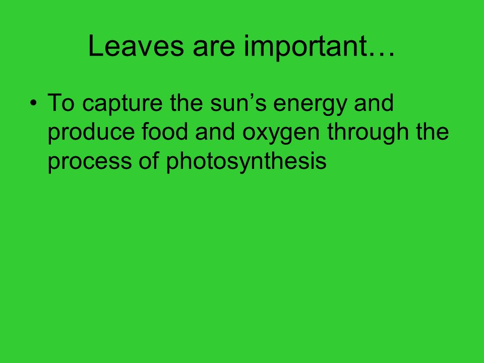 Leaves are important… To capture the sun's energy and produce food and oxygen through the process of photosynthesis.