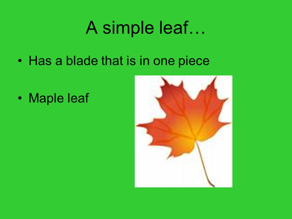 A simple leaf… Has a blade that is in one piece Maple leaf