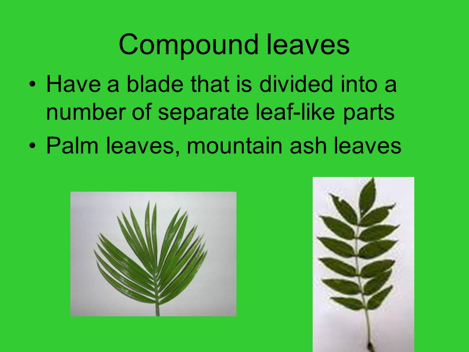 Compound leaves Have a blade that is divided into a number of separate leaf-like parts.